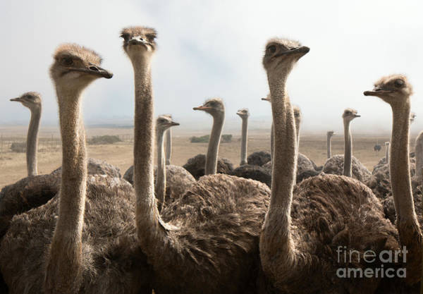 Large Wall Art - Photograph - Group Of Ostriches On A Farm With Misty by Johan Swanepoel