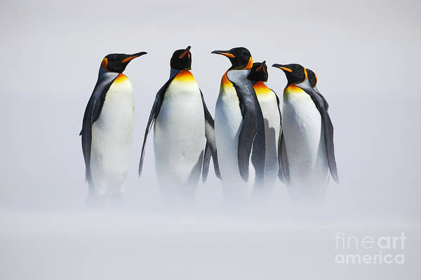 King Penguin Wall Art - Photograph - Group Of Six King Penguins, Aptenodytes by Ondrej Prosicky