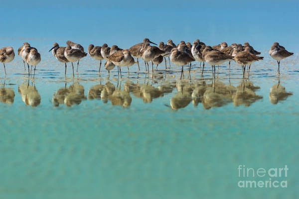 Wading Birds Wall Art - Photograph - Group Of Willets Reflection On The by Kris Wiktor