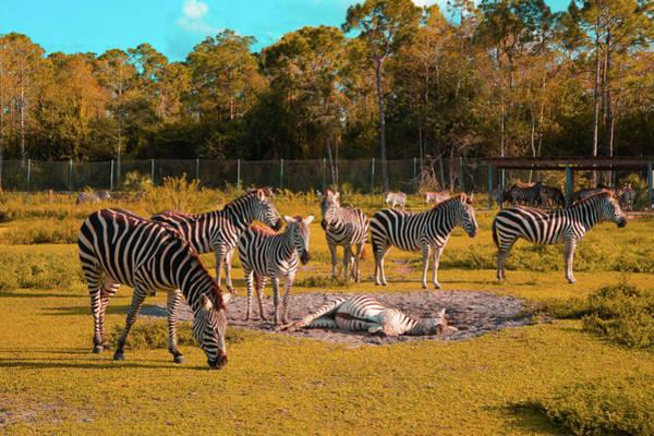 Wall Art - Photograph - Group Of Zebras  by Art Spectrum