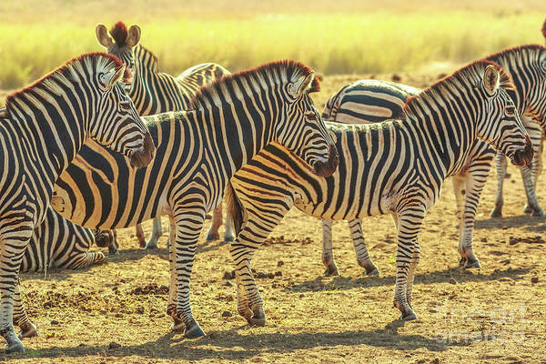 Photograph - Group Of Zebras Lined by Benny Marty