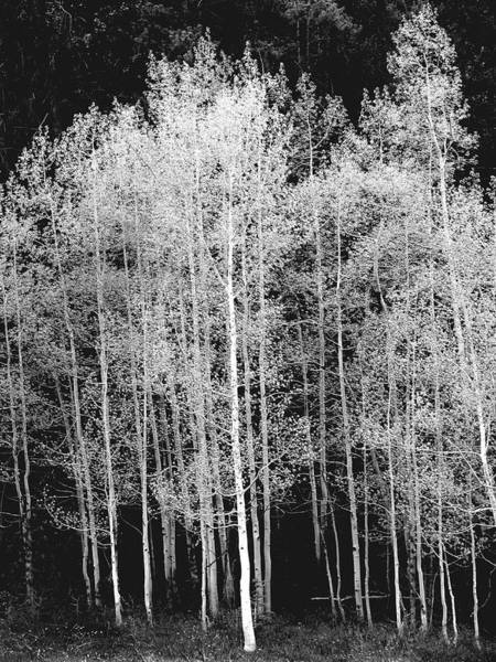 Aspen Photograph - Grove Of Aspen Trees Populus by David Epperson