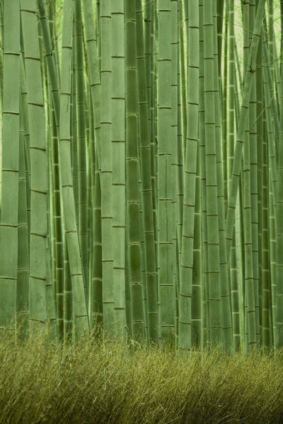 Bamboo Photograph - Grove Of Bamboo Trees Phyllostachys by Akira Kaede