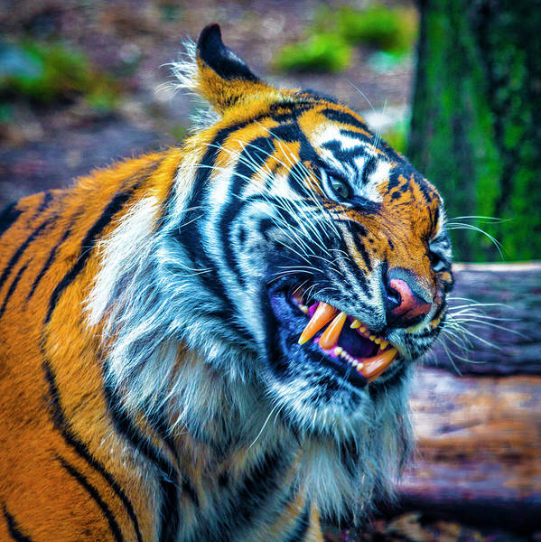 Wall Art - Photograph - Growling Tiger by Garry Gay