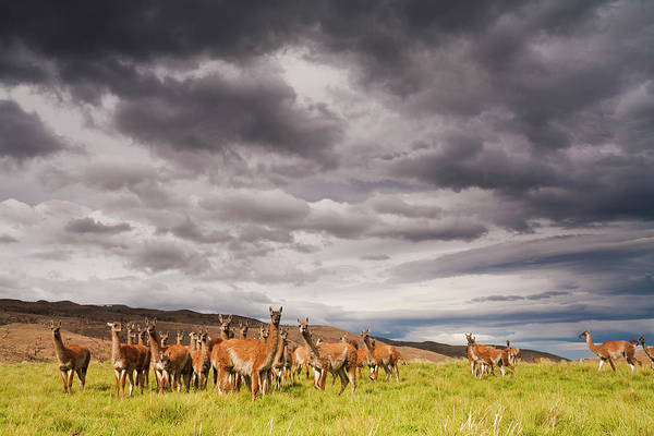 Photograph - Guanacos, A Small Group Of Animals In by Mint Images - Art Wolfe
