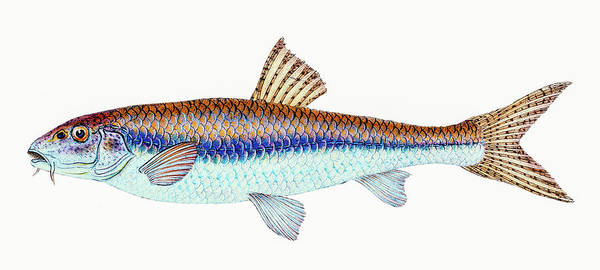 Drawing - Gudgeon  by David Letts
