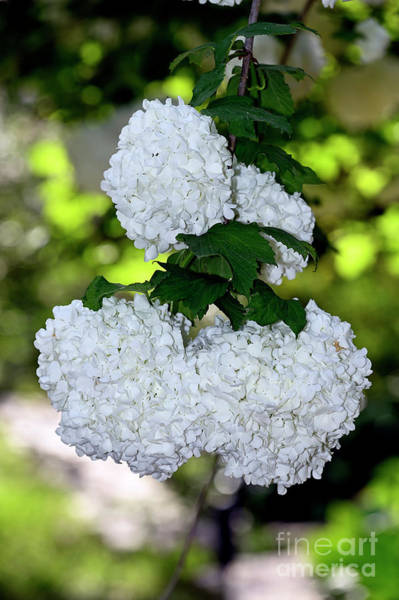 Caprifoliaceae Photograph - Guelder Rose Plant by George Atsametakis
