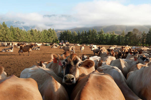 Mike D Photograph - Guernsey Cow And Herd, Overberg by Mike D. Kock
