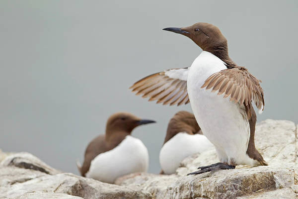 Sunderland Wall Art - Photograph - Guillemot At Farne Island With Wings by Steve Ward Nature Photography