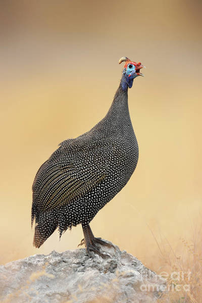 Wall Art - Photograph - Guinea-fowl Perched On A Rock - Etosha by Johan Swanepoel