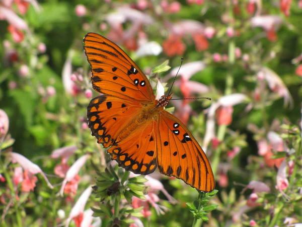 South Carolina Photograph - Gulf Fritillary Aka Passion Butterfly by Daniela Duncan