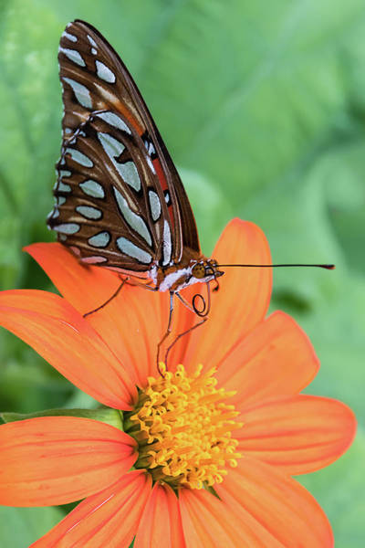 Photograph - Gulf Fritillary Butterfly On Orange Flower by Dawn Currie