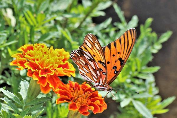 Photograph - Gulf Fritillary On Orange Marigolds by Sheila Brown