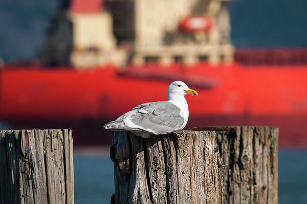 Photograph - Gull And Ship by Robert Potts