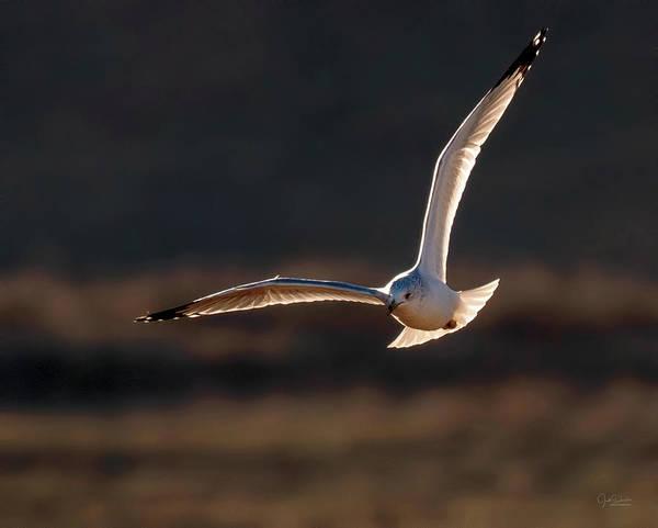Photograph - Gull Flying At Sunset by Judi Dressler