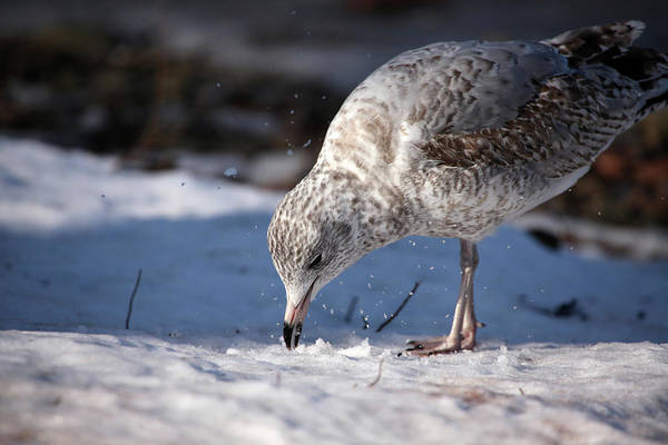 Wall Art - Photograph - Gull In Snow by Karol Livote