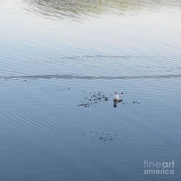 Chroicocephalus Ridibundus Photograph - Gull In Water Colors by Anna Yurasovsky