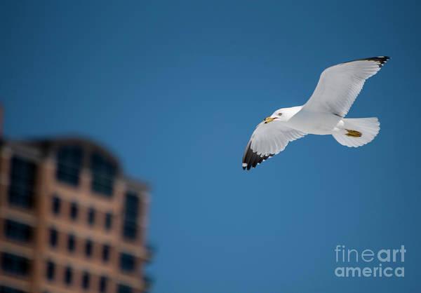 Photograph - Gull Over Cda by Matthew Nelson