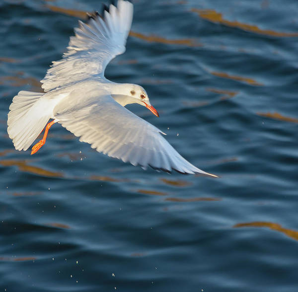 Photograph - Gull Wings Stretched by Scott Lyons