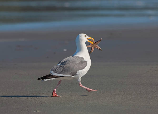 Photograph - Gull With Sea Star by Loree Johnson