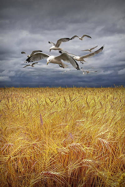 Photograph - Gulls Over A Wheat Field by Randall Nyhof