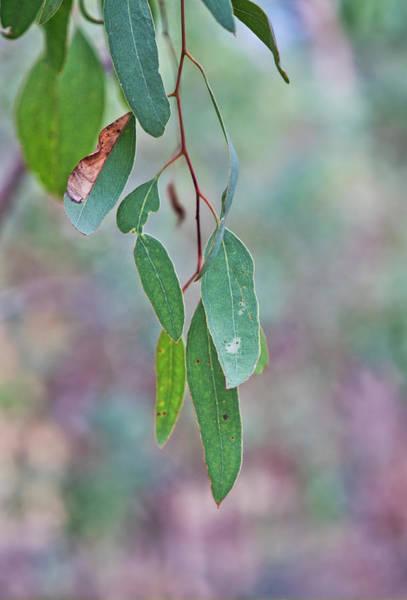 Photograph - Gum Leaves - Australia by Steven Ralser