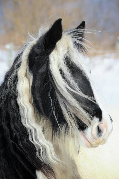 Mare Photograph - Gypsy Vanner Horse Head Shot, Long Mane by Catnap72