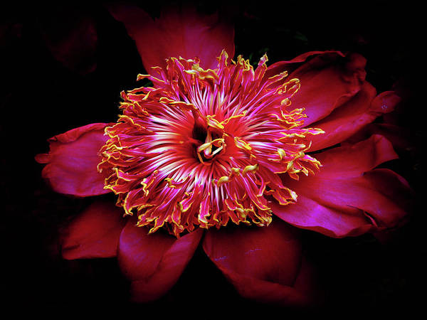 Passion Flower Photograph - Pomp And Peony by Jessica Jenney