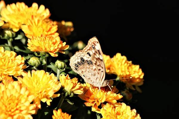 Photograph - Hackberry Emperor On Gold by Sheila Brown