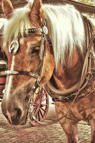 Photograph - Haflinger Pony by JAMART Photography