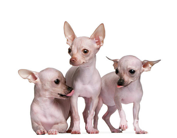Chihuahua Photograph - Hairless Chihuahua 5 And 7 Months Old by Life On White