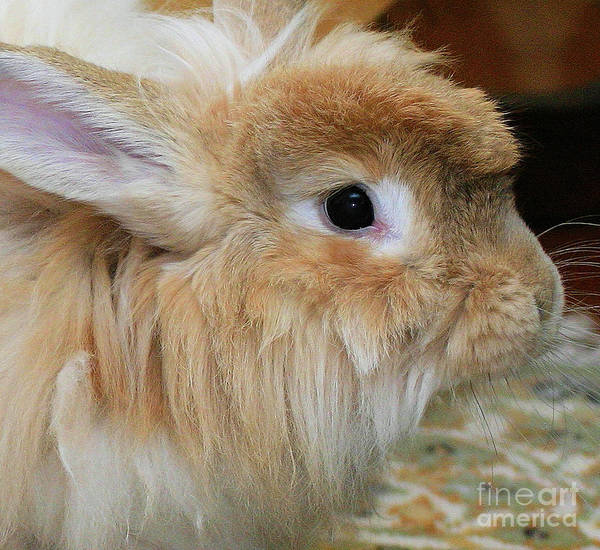 Photograph - Hairy Rabbit by Debbie Stahre