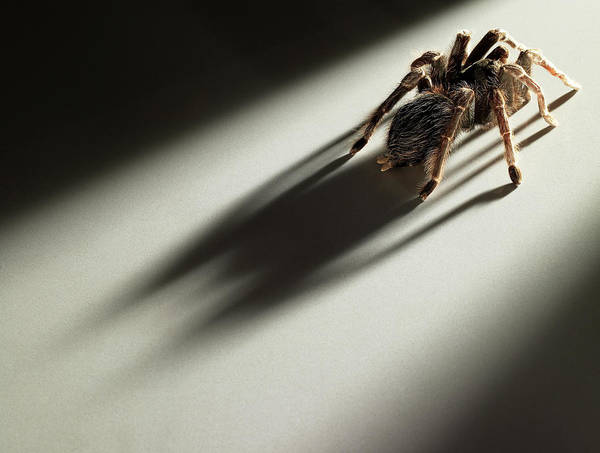Disgusting Photograph - Hairy Tarantula Crawling Towards The by Michael Blann