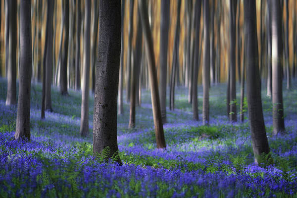 Bluebell Photograph - Hallerbos In Motion by Martin Podt
