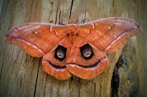 Photograph - Halloween Moth by Vincent Autenrieb