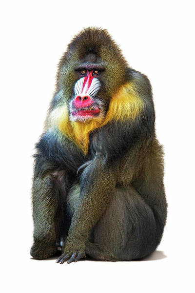 Wall Art - Photograph - Mandrill Baboon Named Spock by Susan Schmitz