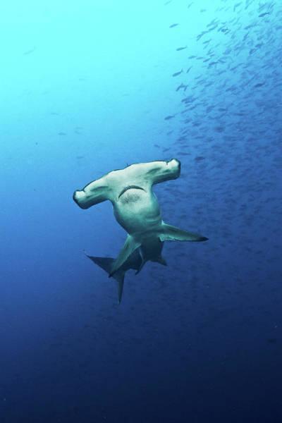 Hammerhead Photograph - Hammerhead Shark Galapagos by Kadu Pinheiro