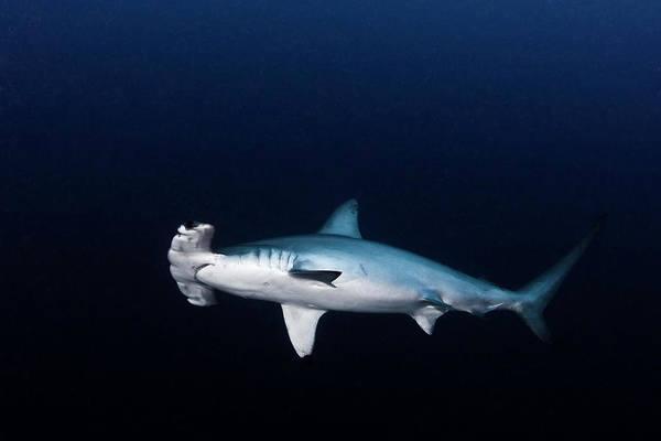 Hammerhead Photograph - Hammerhead Shark by Kadu Pinheiro