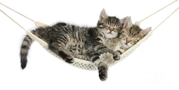 Photograph - Hammock Kittens Sleeping by Warren Photographic