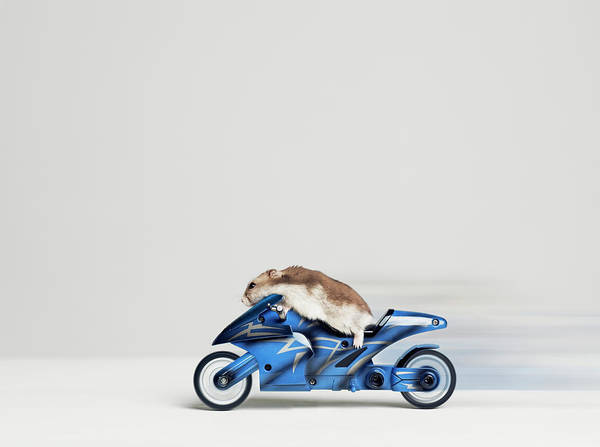 Hamster Photograph - Hamster Sitting On Toy Motorcycle, Side by Roger Wright