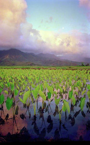 Wall Art - Photograph - Hanalei Valley Taro Fields by Kevin Smith