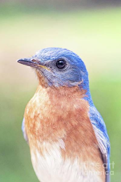 Wall Art - Photograph - Handsome Male Bluebird by Scott Pellegrin