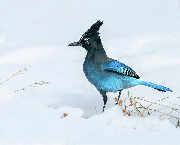 Photograph - Handsome Stellar's Jay In Snow by Judi Dressler