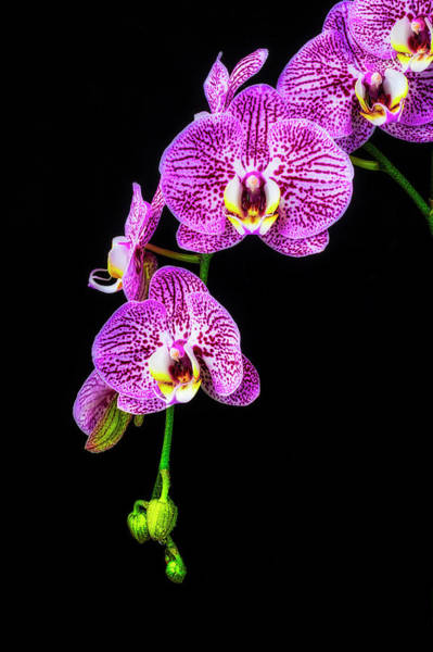 Wall Art - Photograph - Hanging Orchids by Garry Gay