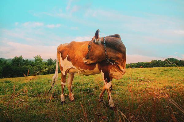 Photograph - Happiness Is A Flirting Cow by Bob Orsillo