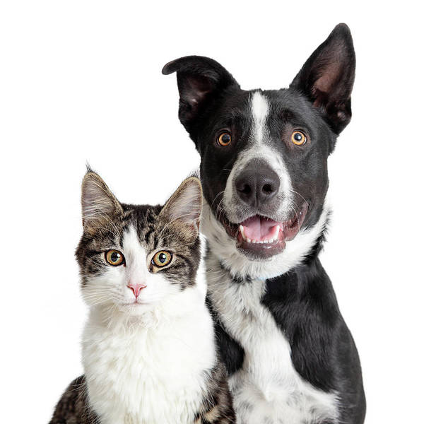 Crossbreed Wall Art - Photograph - Happy Border Collie Dog And Tabby Cat Together Closeup by Susan Schmitz