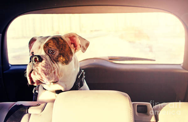 Wall Art - Photograph - Happy Dog Traveling In The Car Boot by Little Moon