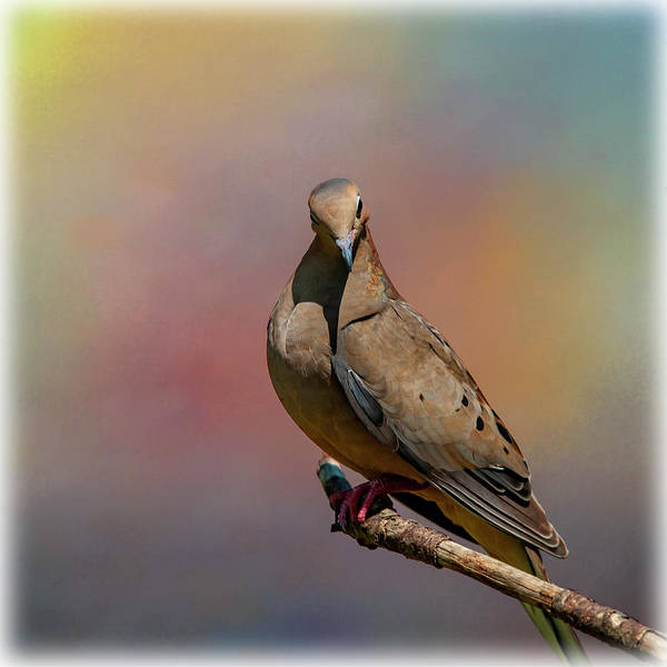 Photograph - Happy Dove by Cathy Kovarik