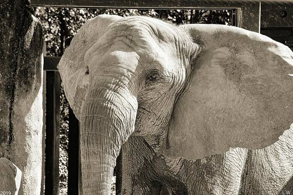 Photograph - Happy Elephant Black And White by Lisa Wooten