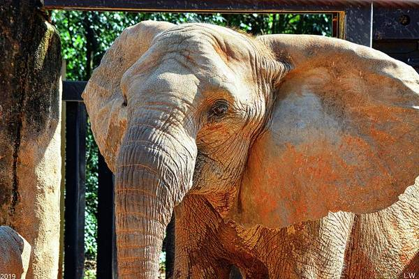 Photograph - Happy Elephant by Lisa Wooten